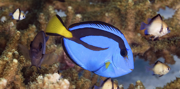 As they mature and adopt their signature color patterns, the palette surgeonfish (Paracanthurus hepatus) acquire a taste for algae. Photo by Walt Stearns