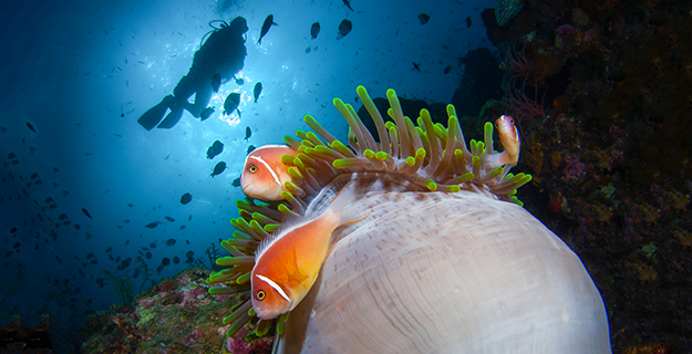 Ascending up the slope to the upper reaches of the reefs will often reveal colonies of clownfish-adorned anemones.