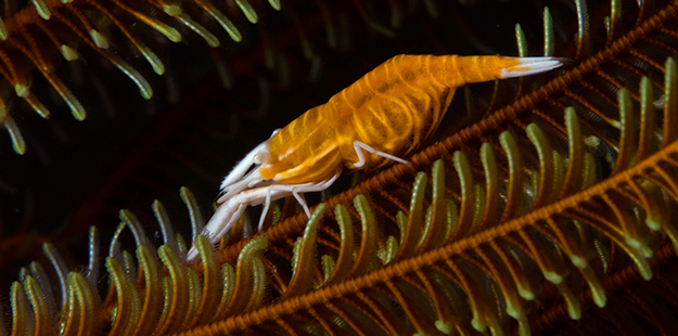 Crinoid shrimps grow to just 3 cm in total length. Photo by Wade Hughes