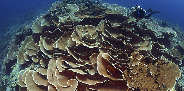 Seen from above Roma's large colony of turbinaria coral, some 20 feet across, resembles a giant rose. Photo by Walt Stearns