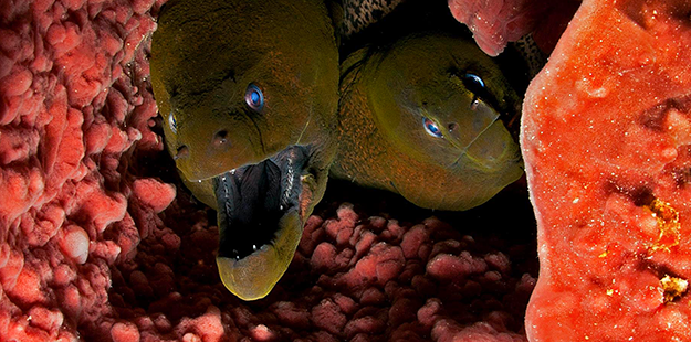 Don't be surprised if a moray eel or two peeks out when you look inside one of Wakatobi's big barrel sponges. Photo by Luc Eckhaut