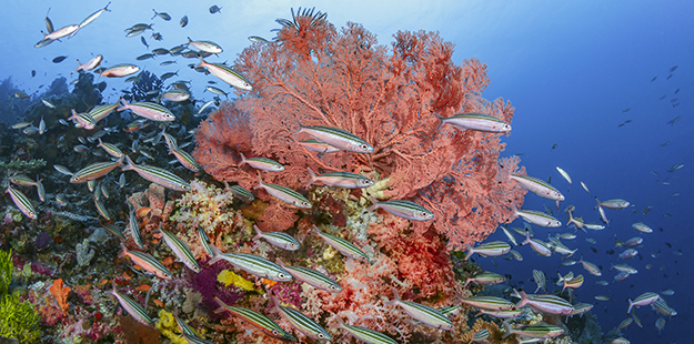 Snorkelers can see many types of sea fans on Wakatobi's reefs and the numerous varieties of fish flitting about them in the shallows.