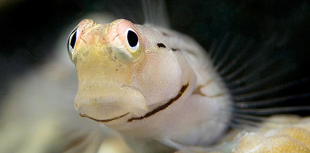 Gobies can sport some funny expressions. They perch on rocks and coral branches to keep tabs on their surroundings, often with one roving to the side or behind.