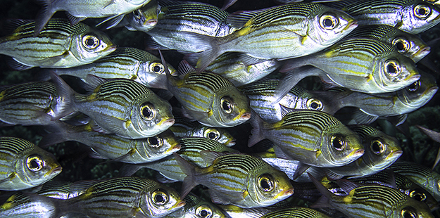 """The fish's lateral line receives signals stimulated in a front-to-back sequence, which gives the fish the ability to """"feel"""" other fish around it."""
