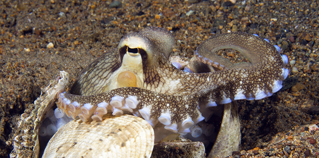The octopus' tiny suction discs provide grip, but are also highly sensitive feelers that pick up even the most subtle sensations.