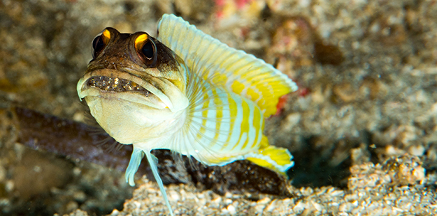 After a spawn, the male jawfish will take custody of the eggs, which are carried in their mouths.