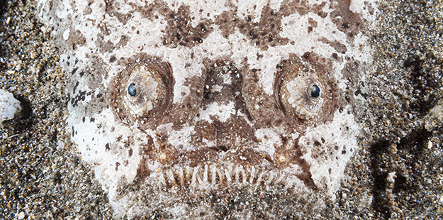 With bulging eyes and a strip of what appears to be jagged teeth, a stargazer's gargoyle-like appearance could earn it a spot in a horror film. Photo by Walt Stearns