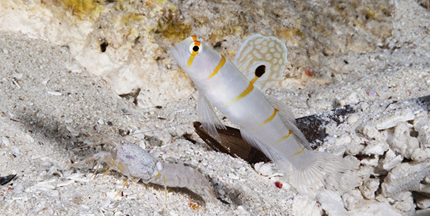 Randall's shrimp goby (Amblyeleotris randalli), known for it's gold bars and halo, usually pair up with the Alpheus shrimp.