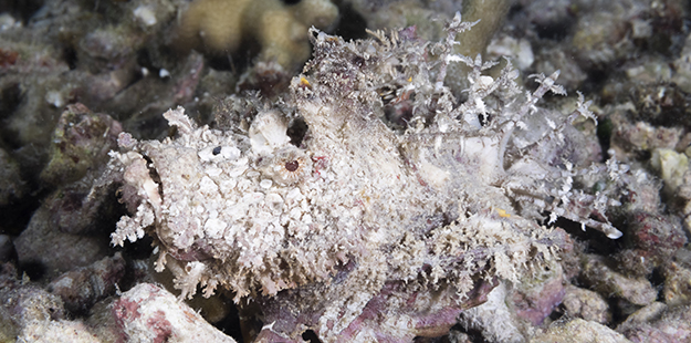 It's not often that the spiny devil scorpionfish will move about, but when it does it walk across the bottom rather than swim. Photo by Walt Stearns