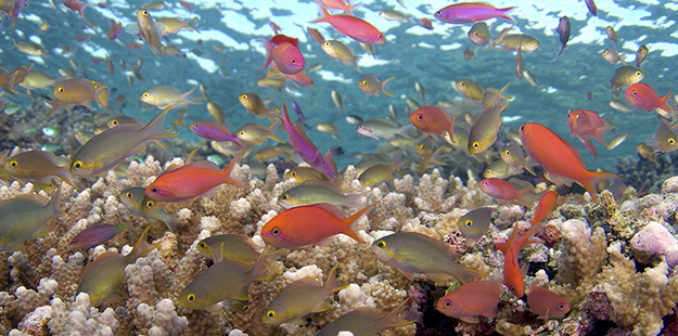 Getting a group shot of anthias can be easier by remaining still for several moments to allow them to re-emerge from their hiding place in the coral.