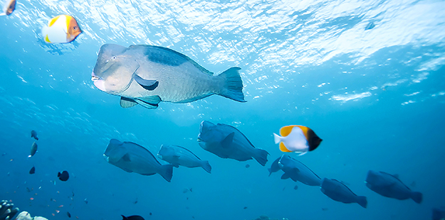 Bumphead parrotfish start life as females, then transition to males as they become a large, dominant fish in the group.