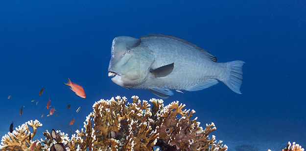 Bumpheads graze calmly, like every other member of the parrotfish family, using their powerful jaws and hardened teeth to turn reef into sand.