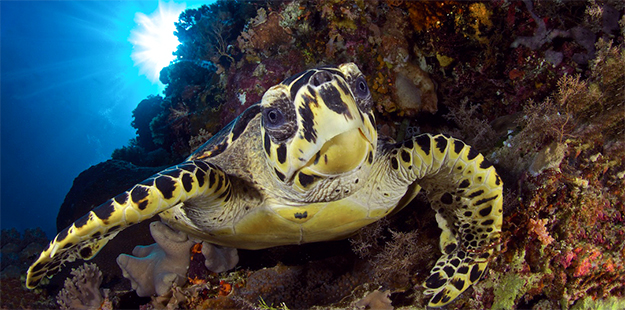 Meander along the wall on the Wakatobi House Reef and you're like to have an encounter with a green or hawksbill turtle.