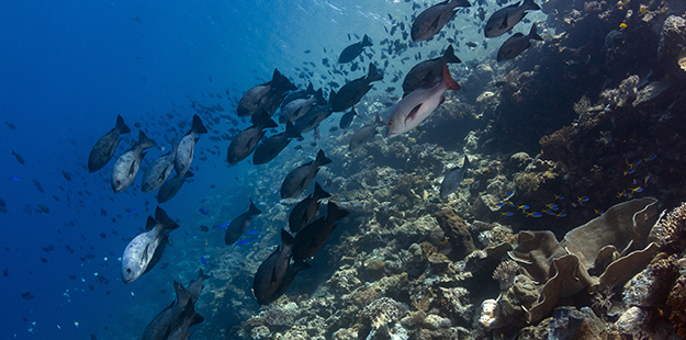 Further along the House Reef at Turkey Beach schools of bronze snappers can be spotted along the precipice.