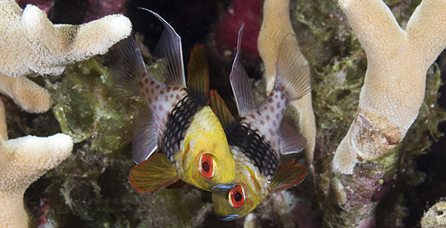 The pajama cardinalfish can evoke the image of a sleeper just awoken and still wearing his pajama bottoms.