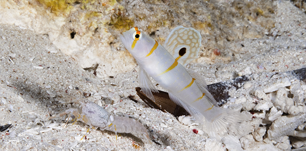 Randall's shrimp goby (Amblyeleotris randalli) usually pair up with Alpheus randalli, a species of snapping shrimp in the genus Alpheus. Photo by Walt Stearns
