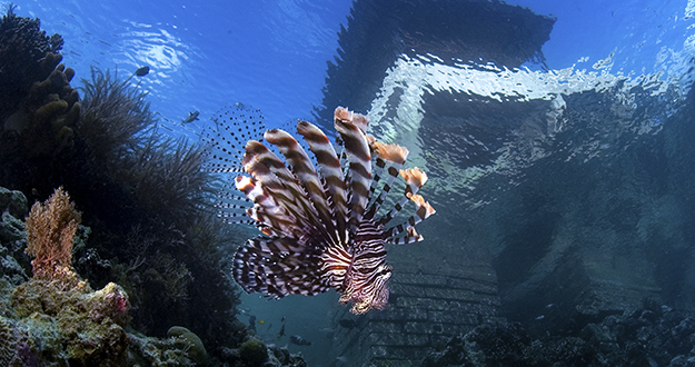 Lionfish are certainly beautiful, but when threatened they can secrete a potent neurotoxin on its need-like dorsal fin spines. So look but don't attempt to touch.