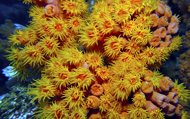 This brilliant spray of orange and yellow tube corals began as a single polyp and self-cloned to eventually turn into the colony you see here. Photo by Terry Crocker