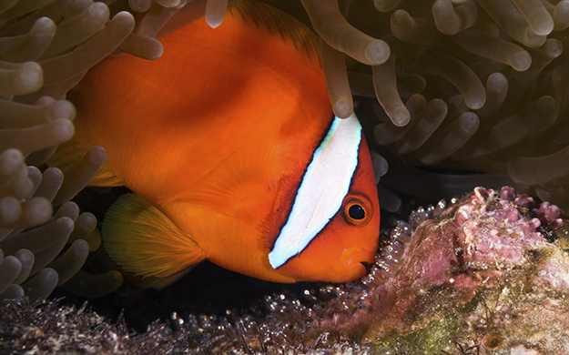 The egg layers such as this clownfish will attach their eggs to the substrate, zealously guarding them until the day of hatching.