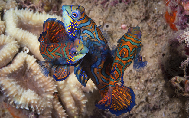 Competition can be stiff for the male mandarinfish as the supply of receptive females typically exceeds the number of enthusiastic males. Mandarinfish (Synchiropus splendidus) a member of the dragonet family.