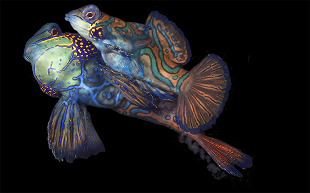At the culmination of their spiral dance, which takes place at dusk, mandarinfish will release eggs and sperm into the water column seen here at the female's tail fin.