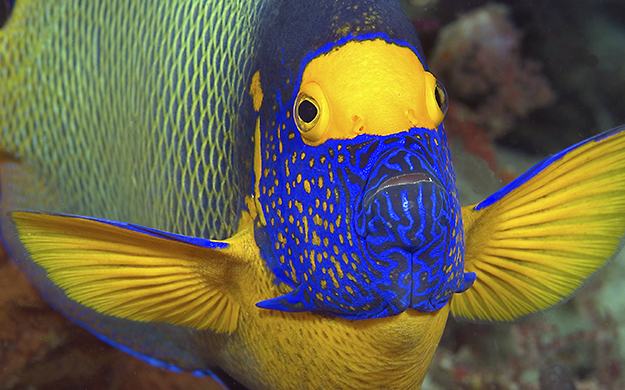 Blueface angelfish inhabit reefs where coral growth is prolific and are always a welcome sight by divers and snorkelers. The blue coloration contrasting with the yellow between its eyes makes it look like the fish is wearing a blue veil.
