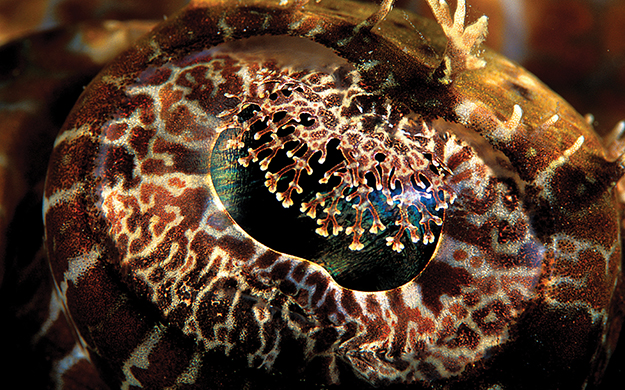 The eyes of the crocodilefish have frilly iris lappets, which help break up the black pupil and improve its concealment.