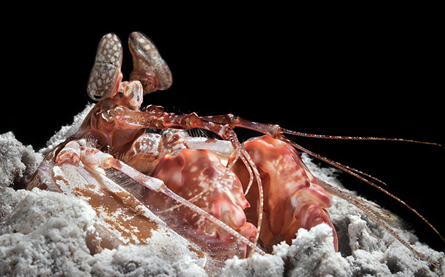 Mantis shrimp are considered to have the best eyesight on earth, and they have the most complex eyes in the animal kingdom.