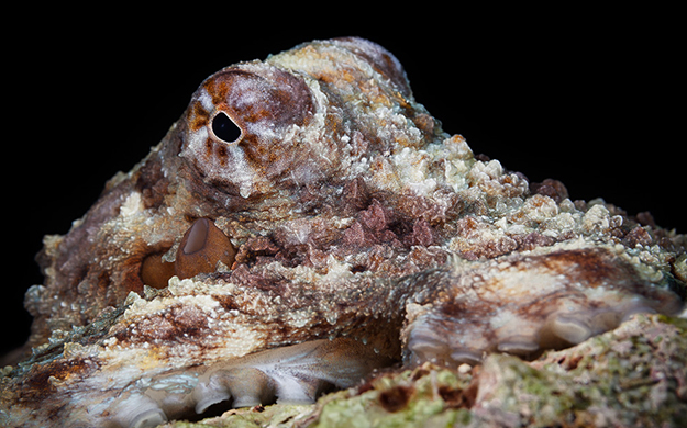 The day octopus is the underwater equivalent of an illusionist. They can transform in the blink of an eye from vivid colors to that of their surroundings. The day octopus is the underwater equivalent of an illusionist. They can transform in the blink of an eye from vivid colors to that of their surroundings.
