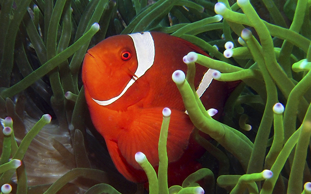 More than half of the 25 listed species of anemonefish in the Indo-pacific are found in Wakatobi's waters. This spinecheek clownfish was photographed a few yards from Wakatobi's jetty.