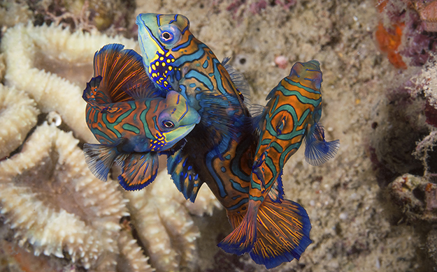 Magic Pier is loaded with mandarinfish that emerge each evening to perform elaborate mating displays for divers.