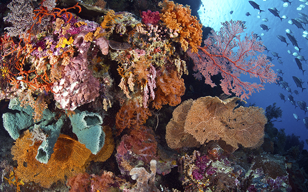 Zooxanthellae algae are pigment cells that take up residence inside the coral's tissue. It is an innate mixture of these cells that give coral its generous display of color.