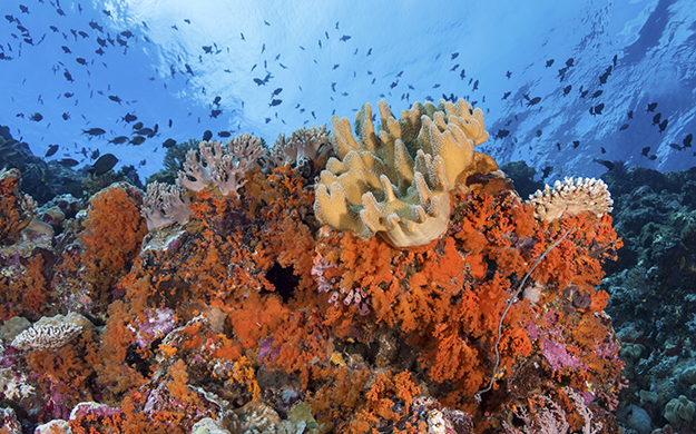 The top portion of the reefs at Karang Kaledupa and Karang Kapota are carpeted with a variety of colorful, healthy hard and soft corals.