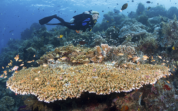 Hard corals play an important role in reef ecosystems as hiding places for fish and invertebrates, and filters for organic material. Dive site Table Coral City, Wakatobi, Indonesia