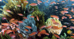 Anthias: Wakatobi's Living Colors