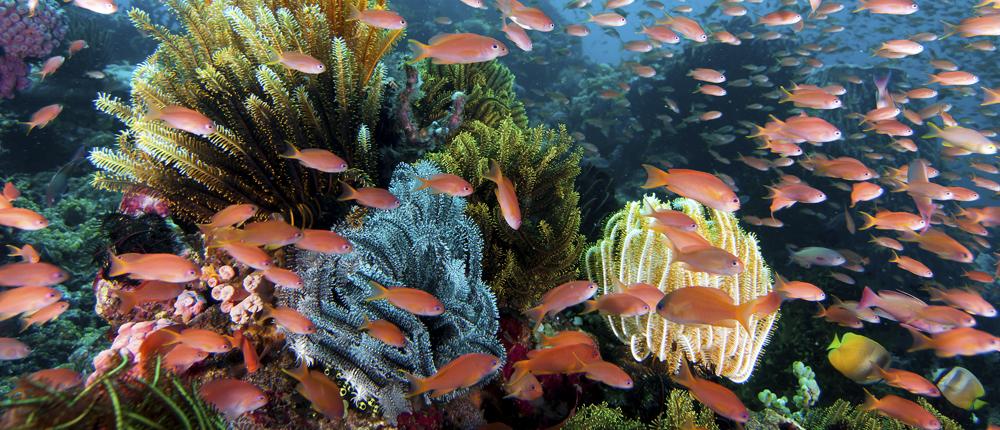 Anthias: Wakatobi's Living Colors