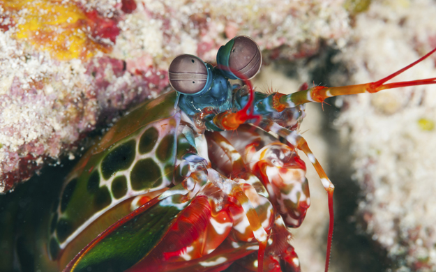 A check of the sandy areas between the corals at The Zoo may reveal a host of bottom dwellers, including the alien-like mantis shrimp.