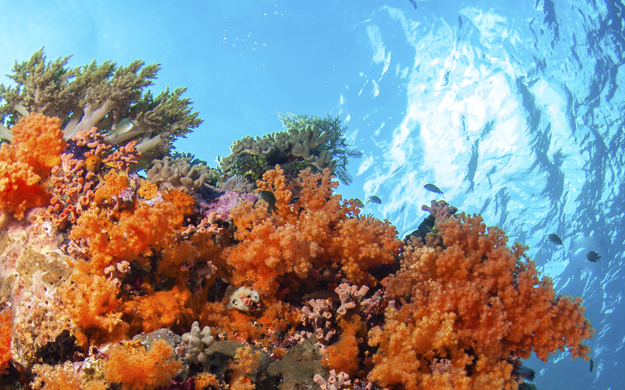 At Vivien's Reef and Pastel Reef in Wakatobi soft corals in shades of yellow, pink and bright orange cover a vertical face that reaches nearly to the surface.