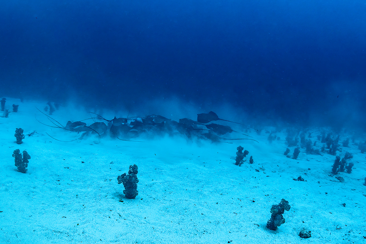 Lorenz and the team have spotted an increase in larger marine life at deeper depths, including this aggregation of stingrays at the site known as Trailblazer. Photo by Chris Gloor