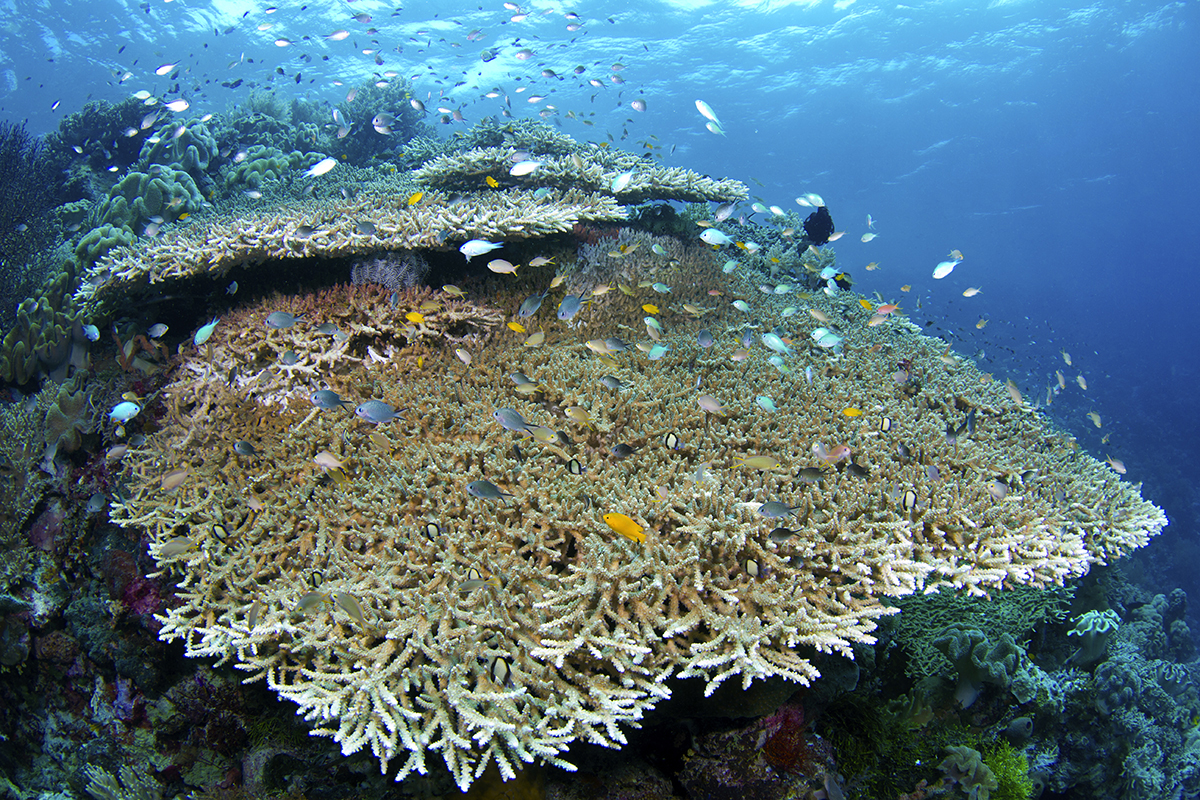 Wakatobi's site Table Coral City is one of the most scenic seamounts on the western edge of the resort where the site's huge plates of corals rise to within two meters of the surface.