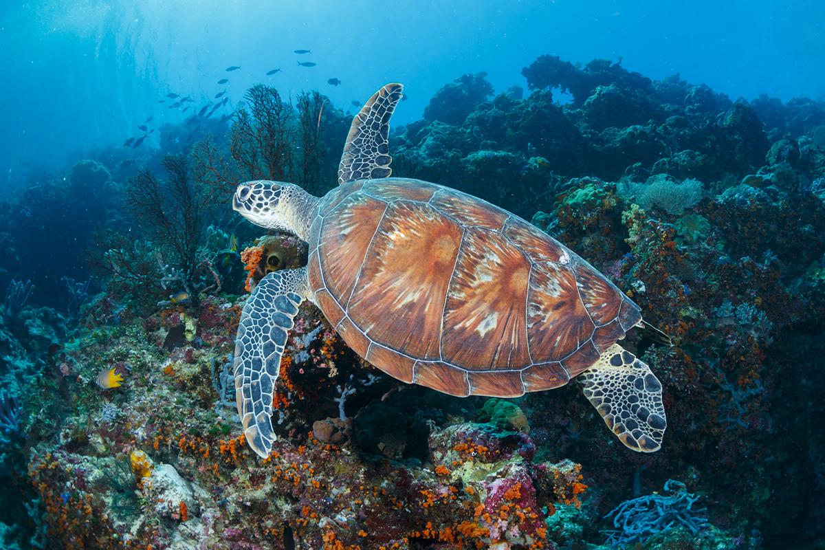 Turtles are a common sight while diving or snorkeling at Turkey Beach. Photo by Marco Fierli, marcof8.com