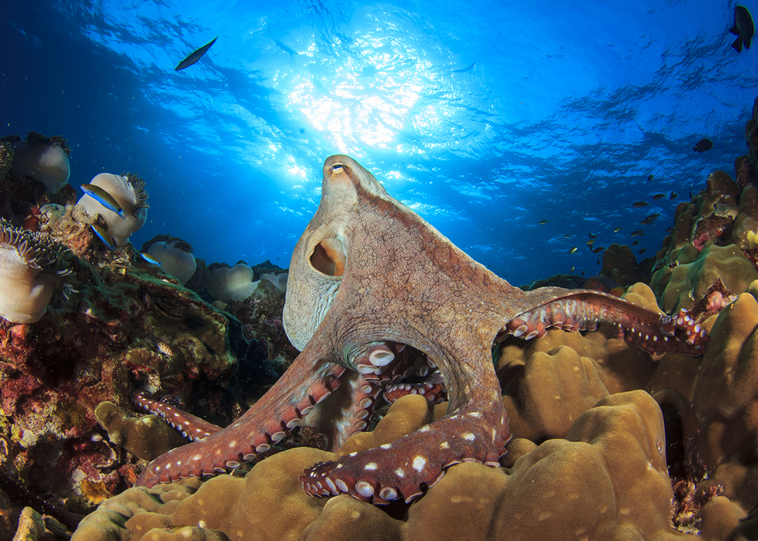 As the name implies, this canny cephalopod is active in Wakatobi's shallows during daylight hours instead of working the night shift like many of its relatives.