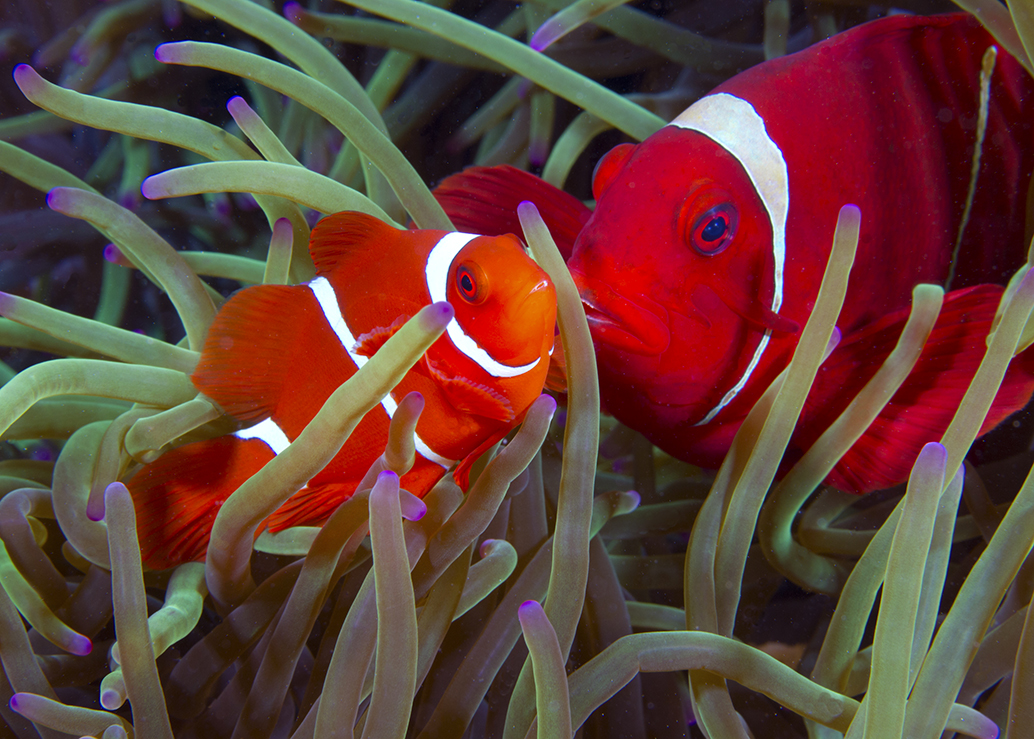 It's likely you'll find more than one clownfish living in an anemone in Wakatobi's waters. A closer look may reveal that one fish is larger — that's the dominant female. Photo by Walt Stearns