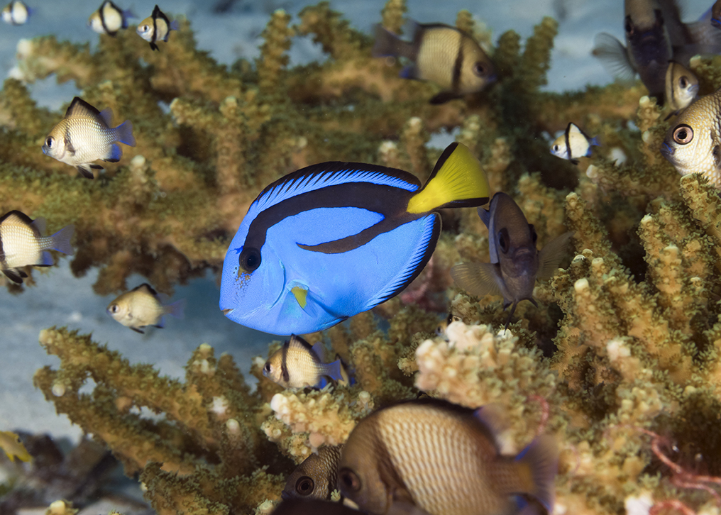 This real-life version of Dory is also known as the regal blue tang. They can be found in the shallows of Wakatobi and also have the ability to change color from a light blue to a dark purple, creating a visual warning when necessary. Photo by Walt Stearns